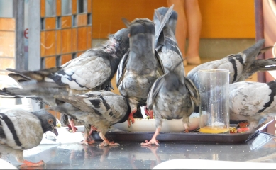 They even serve Pigeon in Barcelona