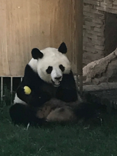 Giant Panda, Madrid Zoo